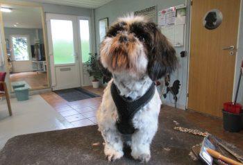 Hundesalon alt for hunden - før og efter Pippi