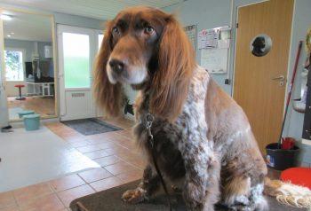 Hundesalon alt for hunden - før og efter Tajs