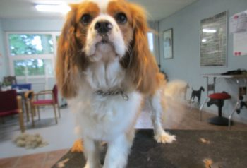 Hundesalon alt for hunden - før og efter Toffee