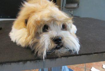Hundesalon alt for hunden - før og efter Alvin