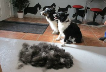 Hundesalon alt for hunden - før og efter Molly & Bailey