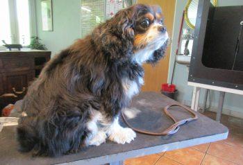 Hundesalon alt for hunden - før og efter Jessie