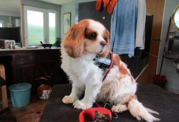 Hundesalon alt for hunden - før og efter Charlie