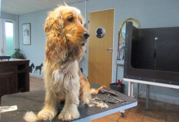 Hundesalon alt for hunden - før og efter Nelly