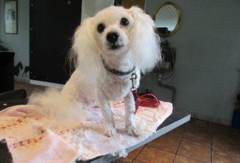 Hundesalon alt for hunden - før og efter Alba