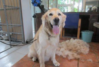 Hundesalon alt for hunden - før og efter Basse