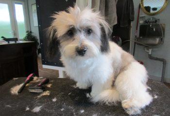 Hundesalon alt for hunden - før og efter Bella