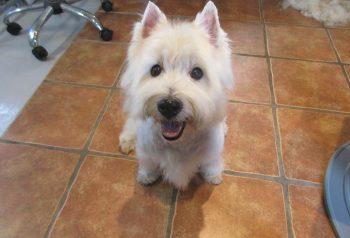 Hundesalon alt for hunden - før og efter Bastian