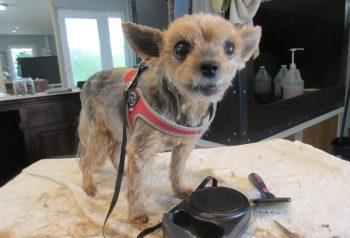 Hundesalon alt for hunden - før og efter Evita