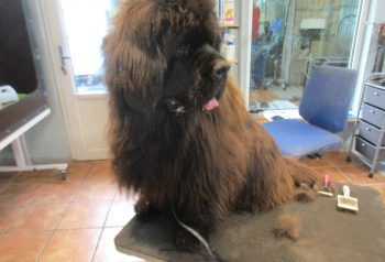Hundesalon alt for hunden - før og efter Balso