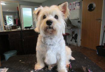 Hundesalon alt for hunden - før og efter Silke