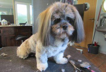 Hundesalon alt for hunden - før og efter Pablo