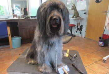 Hundesalon alt for hunden - før og efter Vilas