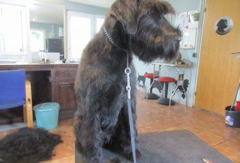 Hundesalon alt for hunden - før og efter Mikka