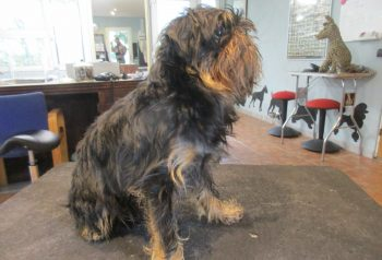 Hundesalon alt for hunden - før og efter Tikko