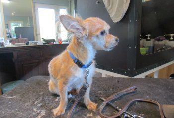 Hundesalon alt for hunden - før og efter Lullu
