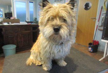 Hundesalon alt for hunden - før og efter Buster