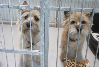 Hundesalon alt for hunden - før og efter Tilde & Buster