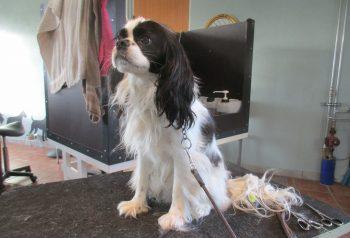 Hundesalon alt for hunden - før og efter Milo