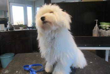 Hundesalon alt for hunden - før og efter Loui