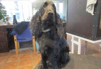 Hundesalon alt for hunden - før og efter Nuser