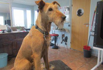Hundesalon alt for hunden - før og efter Tibbe