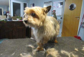 Hundesalon alt for hunden - før og efter Felix