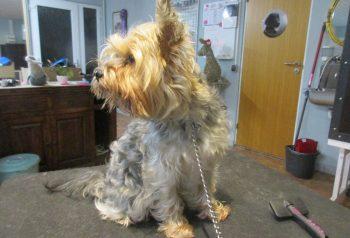Hundesalon alt for hunden - før og efter Miko