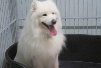 Hundesalon alt for hunden - før og efter Anton