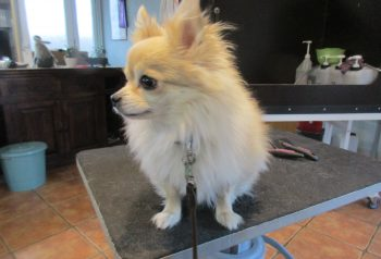 Hundesalon alt for hunden - før og efter Otto