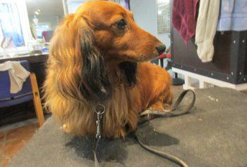 Hundesalon alt for hunden - før og efter Skipper