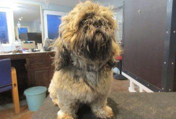 Hundesalon alt for hunden - før og efter Arthur
