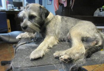 Hundesalon alt for hunden - før og efter Karla