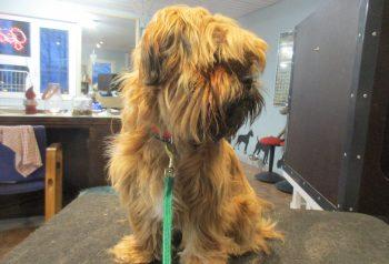 Hundesalon alt for hunden - før og efter Viggo