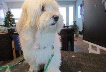 Hundesalon alt for hunden - før og efter Fausto