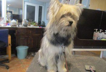 Hundesalon alt for hunden - før og efter Bertram