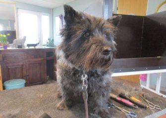 Hundesalon alt for hunden - før og efter Sally