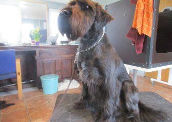 Hundesalon alt for hunden - før og efter Thor