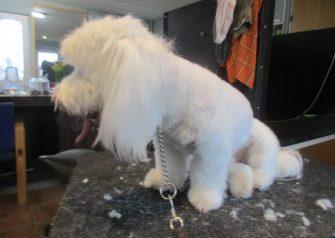 Hundesalon alt for hunden - før og efter Sofus