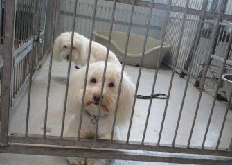 Hundesalon alt for hunden - før og efter Sofus & Rollo