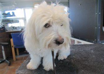 Hundesalon alt for hunden - før og efter Alma