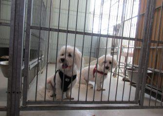 Hundesalon alt for hunden - før og efter Alma & Carlo