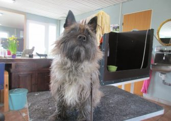 Hundesalon alt for hunden - før og efter Alfi