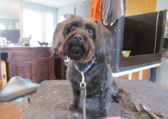 Hundesalon alt for hunden - før og efter Chika