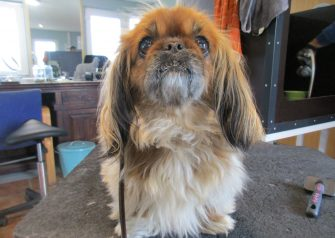 Hundesalon alt for hunden - før og efter Molly