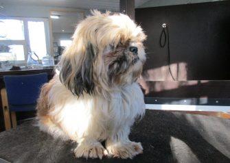 Hundesalon alt for hunden - før og efter Guffe