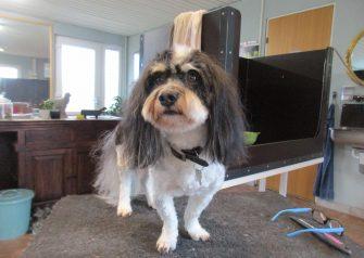 Hundesalon alt for hunden - før og efter Togan