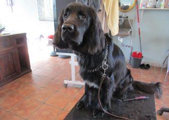 Hundesalon alt for hunden - før og efter Joey