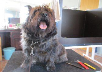 Hundesalon alt for hunden - før og efter Julius