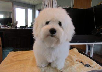 Hundesalon alt for hunden - før og efter Vaks